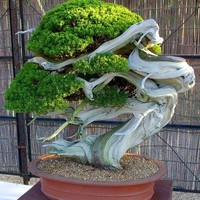 Promotion!50 juniper bonsai tree potted flowers office bonsai purify the air absorb harmful gases juniper seeds  free shipping,#