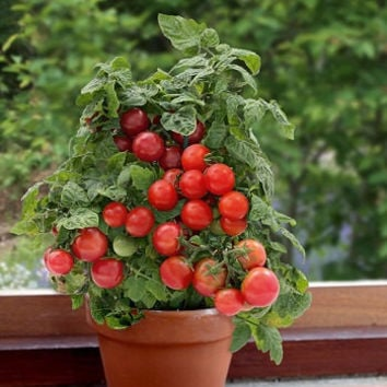 100 Bonsai Red Cherry Tomato Seeds Organic Heirloom Sweet Fruit Home & Garden DIY Indoor Outdoor Cute Interesting Productivity Plant