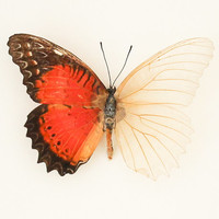 Real Skeleton Butterfly Leopard Lacewing Science Oddity
