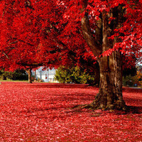 50 particles Beautiful Japanese Red Maple Seeds, DIY home & garden tree seed