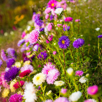 Wall Art, Art Print, Nature Photography, Art Photography, Flower Bed, Colorful, Flowers, Pink, Purple, Violet, Netherlands - True Colors