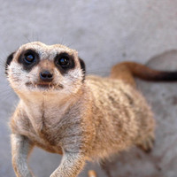 Animal photography, grey, Meerkat portrait, cute, children, available as a poster or as a matte print