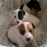 Jack Russell Terrier Pictures (pfx1f4yr291)