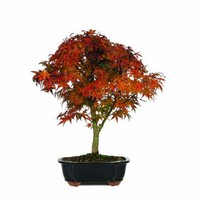 Brussel's Japanese Maple 'Sharpes Pygmy' Bonsai