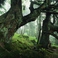 Ancient Fir Trees in Forest Photographic Print by Norbert Rosing at AllPosters.com