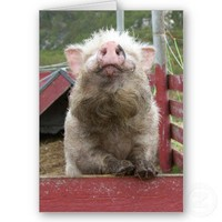Canadian Miniature Pig 42a Greeting Cards from Zazzle.com