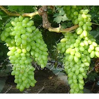 20 Seeds Rare Green Finger Grape Seeds Fruit Tree Seeds Natural Growth Grape Delicious Home Gardening Fruit Plants