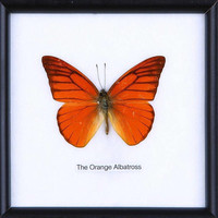 Real framed butterfly Display Rare Insect Taxidermy Real Orange Albatross Butterfly Display