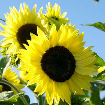 Sunflower Lemon Queen Seeds (Helianthus Annuus) 50+Seeds