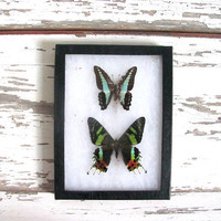 20% OFF SALE / Vintage Framed pressed Butterflies. Specimen box with green and black butterflies. Wall hanging picture