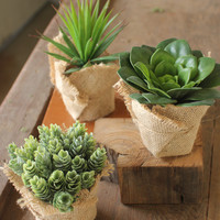 Set of 3 Succulents with Burlap Wrapped Pot