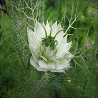 Love in a Mist Marbles Flower Seeds (Nigella Damascena Albion) 50+Seeds