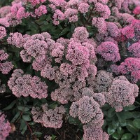 Sedum 'Dynomite' PP 24,722, Sedum Dynomite, buy Sedum Dynomite for sale