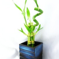 9GreenBox - Live Spiral 7 Style Lucky Bamboo Plant Arrangement with Black/Blue Square Lucky 7 Ceramic Vase