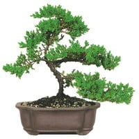 "12"" Green Mound Juniper Bonsai, Live, Trees"