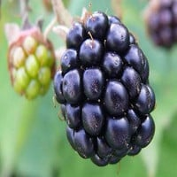 Blackberry Bush Fruit Seeds (Rubus laciniatus) 50+Seeds