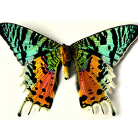 Butterfly, Real Dried Butterfly Specimen, Décor or Terrarium Accent