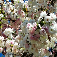 BRIDAL Photo Greeting Card featuring the stunning White Candle Crabapple Tree - enjoy free US shipping