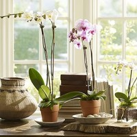 Live Phalaenopsis Orchid in Terra Cotta Pot   Pottery Barn