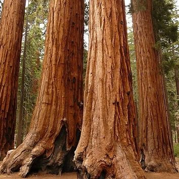 Giant Sequoia Tree Seeds (Sequoiadendron giganteum) 15+Seeds