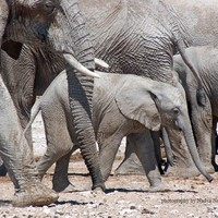Big Family for Baby Elephant - signed photo print, size 8x10 inches (20x25cm) - fine art wildlife photography, African baby elephant