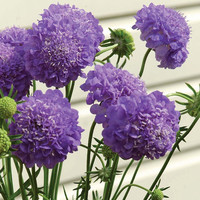 Heirloom 150 Seeds Scabious Sweet Mediterranean Scabiosa Pincushion Glossy Flower Seeds B2126