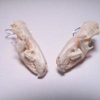 Skull Earrings - Real Skull Earrings Unique Animal Skull Jewelry Taxidermy Jewelry Shrew Skulls