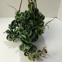 Succulent Plant Large Variegated Hindu Indian Rope Hoya. An intriguing twisting plant.