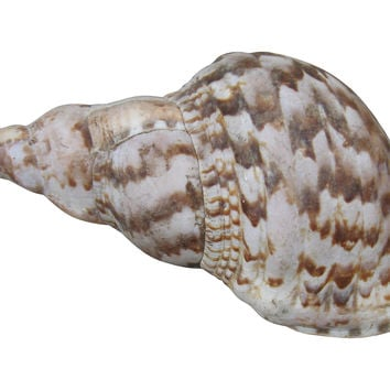 Large Pointed Seashell