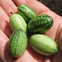 Heirloom 5 Rare Seeds Melothria Scabra Mouse Melon Mexican Sour Gherkin Heirloom Fruit F36