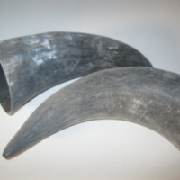 2 Cow horns...unfinished and raw  ......E2A...cow horn...buffalo horn....bull....steer....goat ...sheep...ram..ox