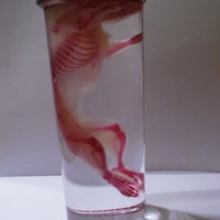 Real Diaphonized Rat clear and stained whole rat and skeleton specimen taxidermy oddities MATURE