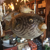 Taxidermy Parrot Fish