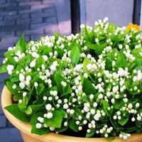 Jasmine seed indoor plants perennial flower seeds 20seeds pack