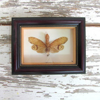 Real, Framed and mounted Moth. Specimen box with insect. Wall hanging picture