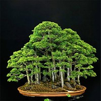 ZLKING 20 Rare Beautiful Juniper Bonsai Tree Seeds Potted Flower Office Bonsai Purify The Air Absorb Harmful Gases Free Shipping