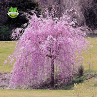 20 pink fountain weeping cherry tree Seeds DIY Home Garden Dwarf Tree Seeds Perennial Free Shipping