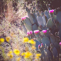 Cactus Flower Print, Desert Photography, Southwest Desert art California Boho Decor Prickly Pear Poster Size pink coachella anzo borrego