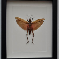Unusual LARGE GRASS HOPPER displayed in a box frame