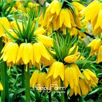 Best-Selling!10 Pcs/Lot Yellow Imperial Crown Seeds imperialis Lutea Seeds Easy To Grow Home Garden Ground Cover Plant,#TTCF7S
