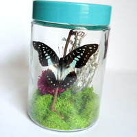 Butterfly terrarium - Real butterfly specimen - unique gift - insect display - Graphium Meyeri butterfly - taxidermy - entomology