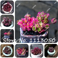 100Pcs/Bag Rare Ball Rose Succulent Seeds Lotus Lithops Phedimus Bonsai Plants Seeds for Home & Garden Flower Pots Planters