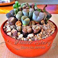 100 seeds Lithops Pseudotruncatella Living Stone   Rare Succulent Seeds  Home Garden Plant  seeds