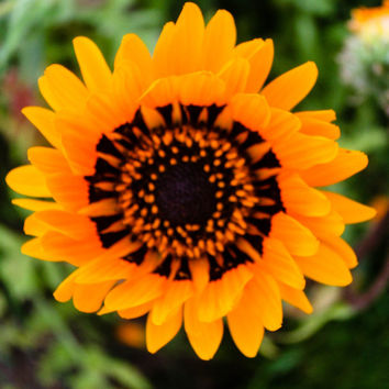 Colour Photograph of Yellow and Black Sunflower, Nature Photography, Floral Photography, Wall Art.