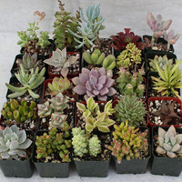 Twenty (20) Assorted potted Succulent Collection 2 inch plastic pots succulents great for wedding gifts & favors
