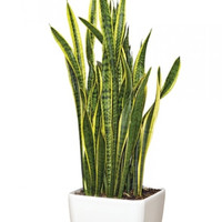 PLANT Mother-in-Law Tongue or Snake Plant