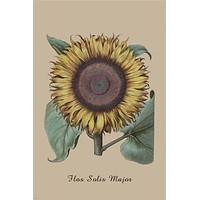 vintage botanical poster THE SUNFLOWER classic form BRIGHT prized 24X36 HOT