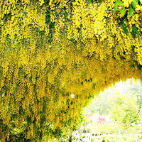 10 Yellow Wisteria Flower Seeds   Fragrant Gorgeous Sinensis Hot Selling Heirloom Vine Tree Seed for DIY Home Garden Plants Decor Bonsai