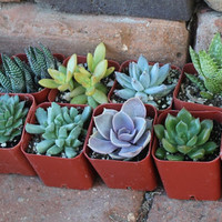 """Christmas Special NINE (9) Assorted potted Succulent Collection in 2"""" inch plastic pots succulents great for wedding gifts & FAVORS"""