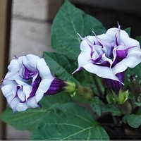 Purple Angels Trumpet Flower Seeds (Datura metel) 25+Seeds